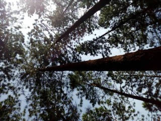 Land with Pine trees for sale in Hatton