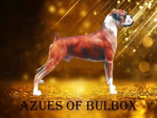 Boxer dog for Stud service (crossing)
