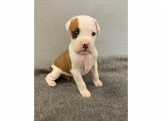 Boxer puppies available!!! For adoption