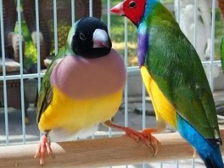 Gouldian Finches Birds for adoption