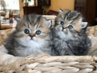 Golden Persian kittens available for sale