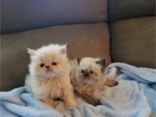 Himalayan kittens both male and female available